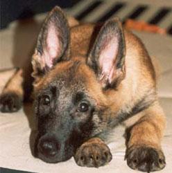 малинуа фото щенки